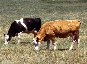 Funny Friday – The Political-Economics of Two Cows