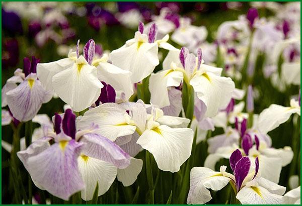 pousser néerlandaisIris faire iris des plantant et Comment tCsQdxBhr