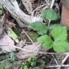 葉が三枚の野草たち