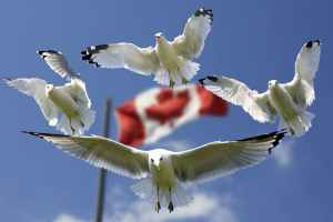 Gulls surrounding the Canadian flag.