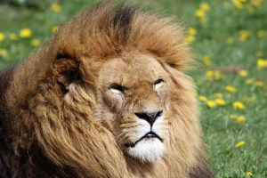 A fluffy lion looking at the camera as the wind runs through his mane.