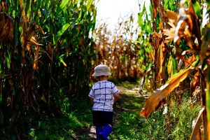 A child going happily through a corn maze.
