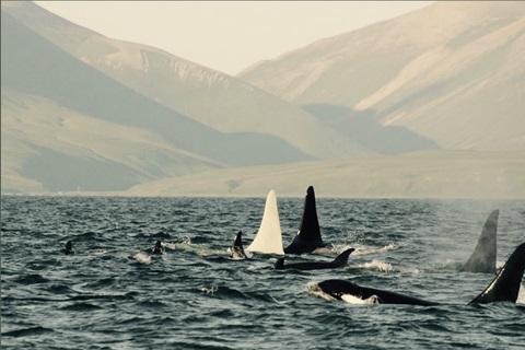 Albino Killer Whale Iceberg