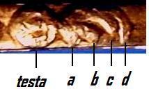 Figura 10: particolare dell'ornato o arabesco.
