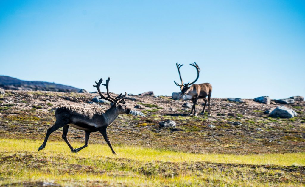 Caribou at Ukkusiksalik National Park