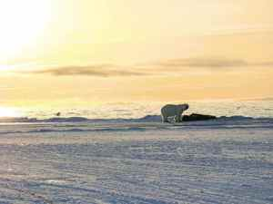 Eric Ootoovak<br /> Pond Inlet<br /> A polar bear feasting on a whale carcass under the midnight sun near Pond Inlet a few years ago.
