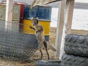 1009Irene Eckalook Irene Eckalook Resolute Bay Arctic Fox kept coming back to where we stored the Caribou meat . Bathurst Island west of Resolute Bay, Aug. 2018.