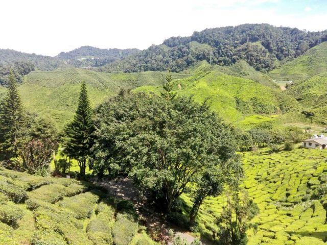 Campos de té de diferentes tonos verdes