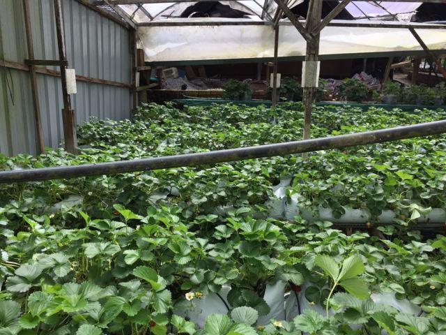 Plantación de fresas