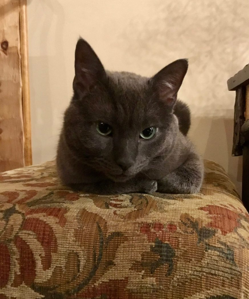Russian Blue Cat on Ottoman