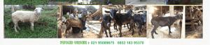 paket domba kambing aqiqah citayam
