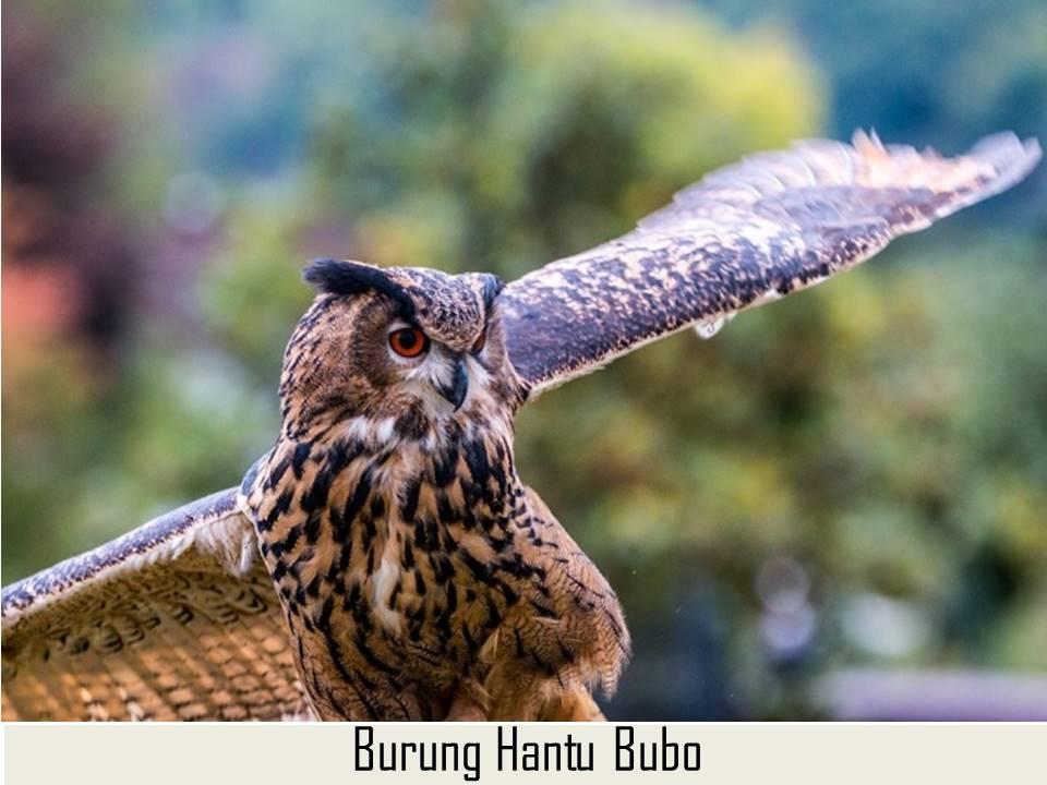 Burung Bubo Ketupu