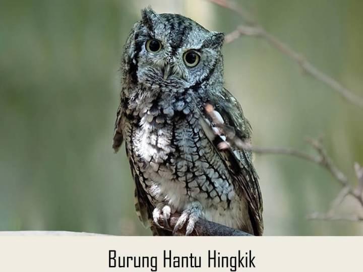 Burung Hantu Hingkik