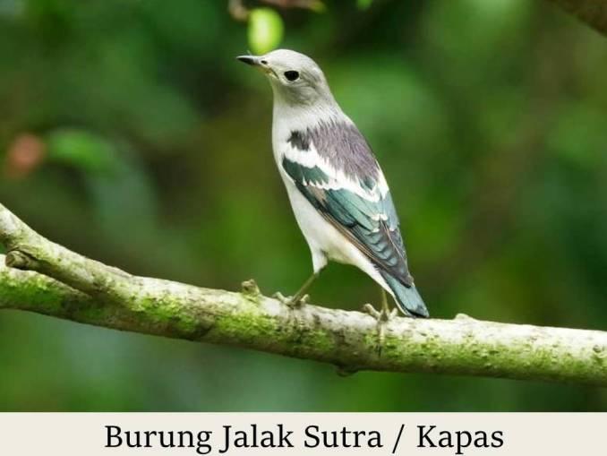 Burung Jalak Sutra Kapas