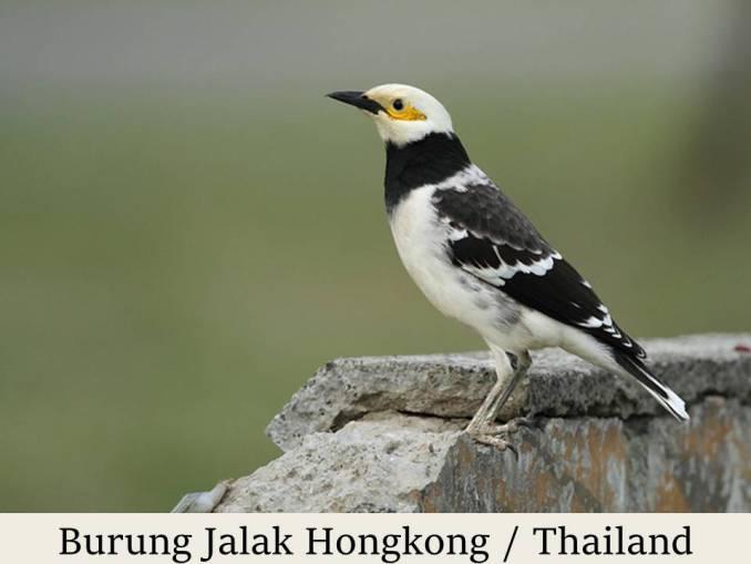 Burung Jalak Thailand-Hongkong