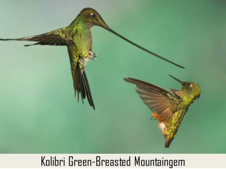 kolibri kelapa leher ini Berukuran sedang sekitar 12 cm. Jantan : mempunyai mahkota dan punggung hijau metalik mengkilap, Dagu dan penutup sayap atas merah marun, tenggorokan me