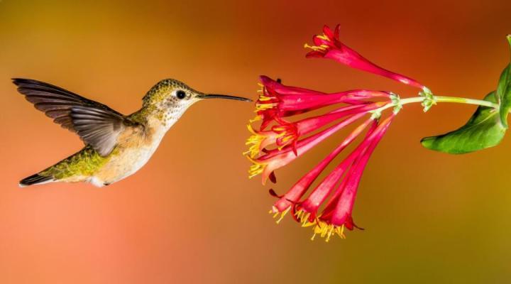 Jenis Kolibri Wulung
