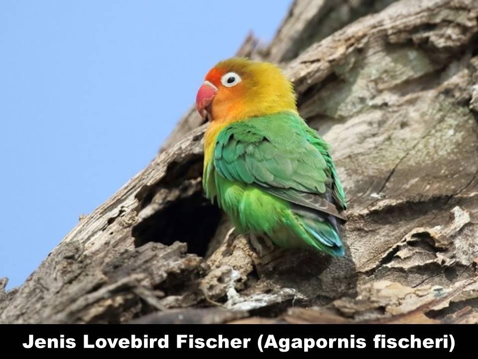 Jenis Lovebird Fischer (Agapornis Fischeri)