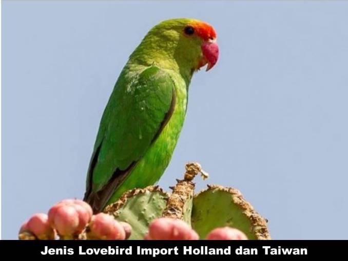 Jenis Lovebird Import Holland dan Taiwan