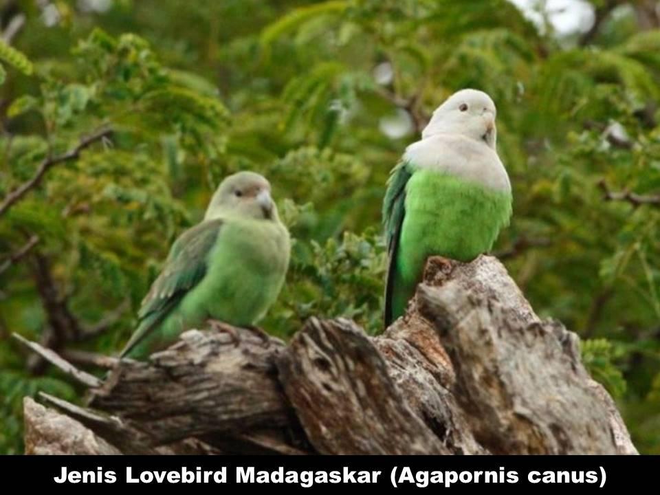 Jenis Lovebird Madagaskar (Agapornis Canus)