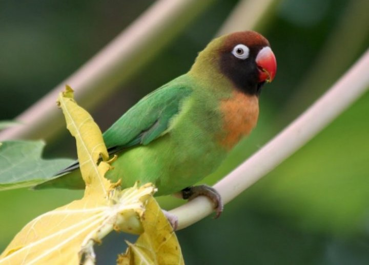 Jenis Lovebird Topeng (Agapornis personata)