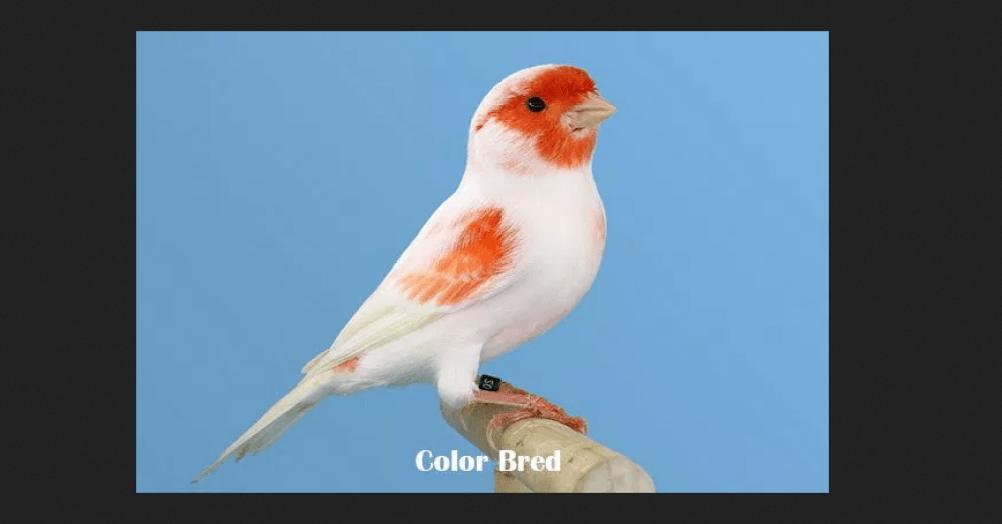 Kenari Color Bred