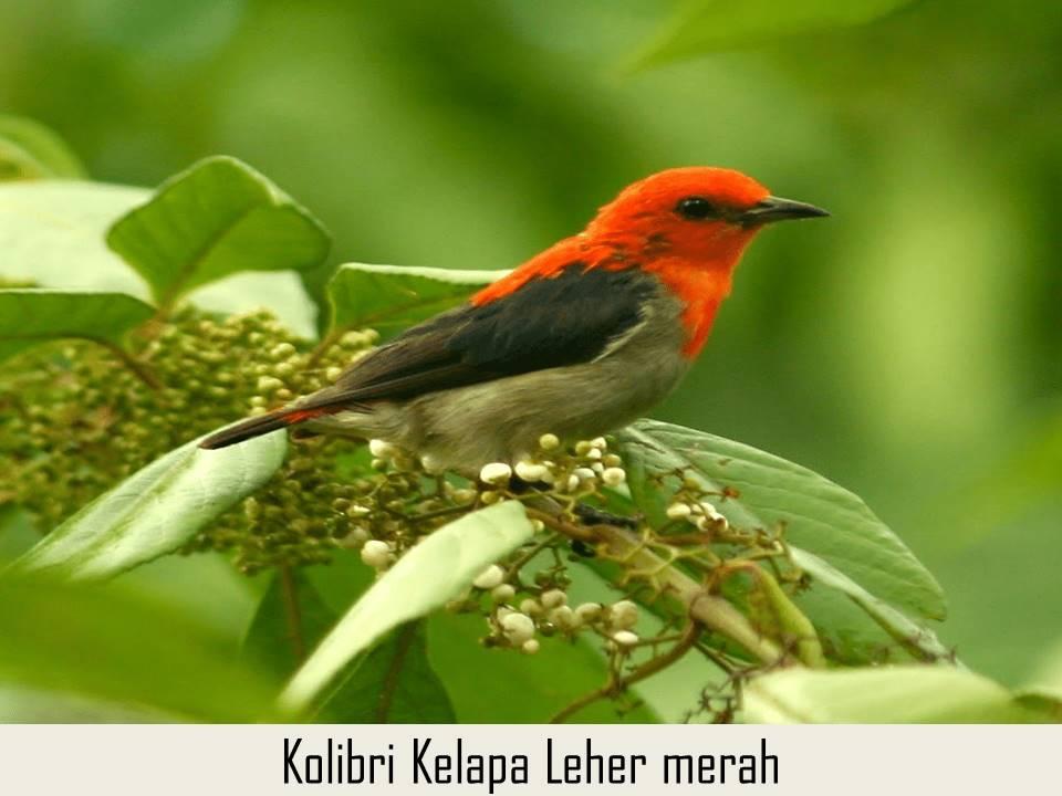 Kolibri Kelapa leher merah