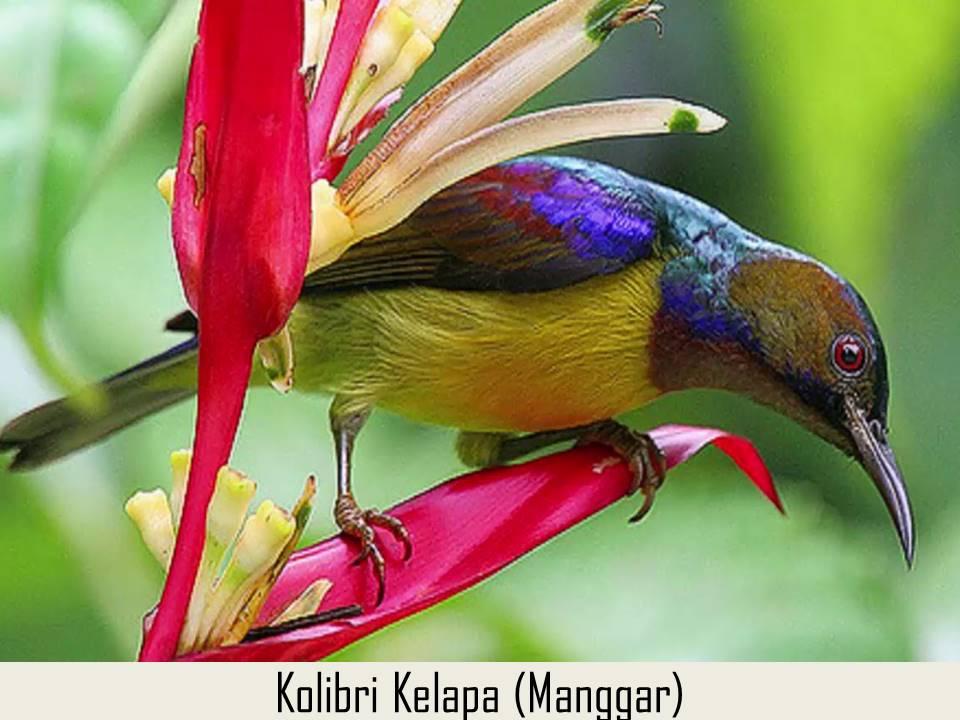 Kolibri Kelapa (Manggar)