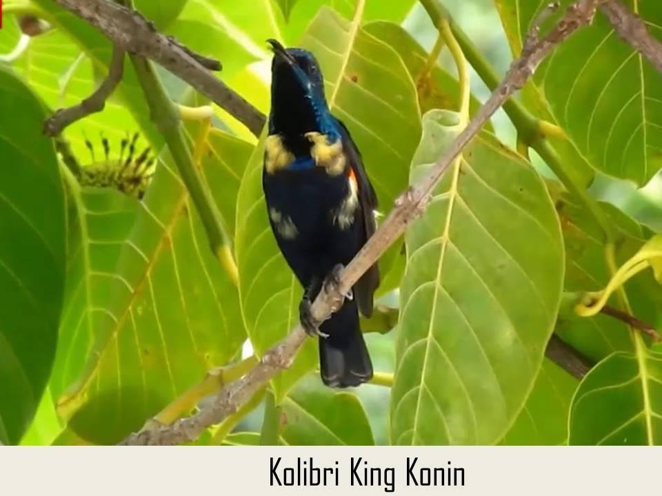 Kolibri King Konin