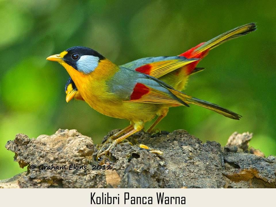 Kolibri Panca Warna