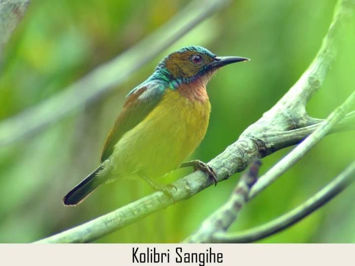 Kolibri Sangihe