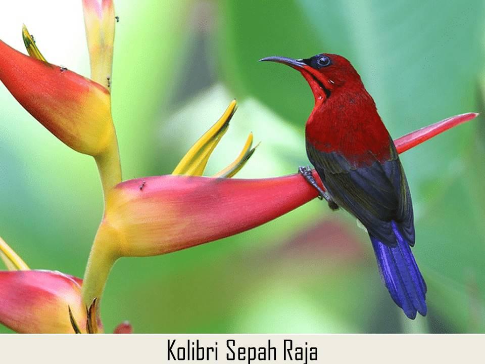Kolibri Sepah Raja