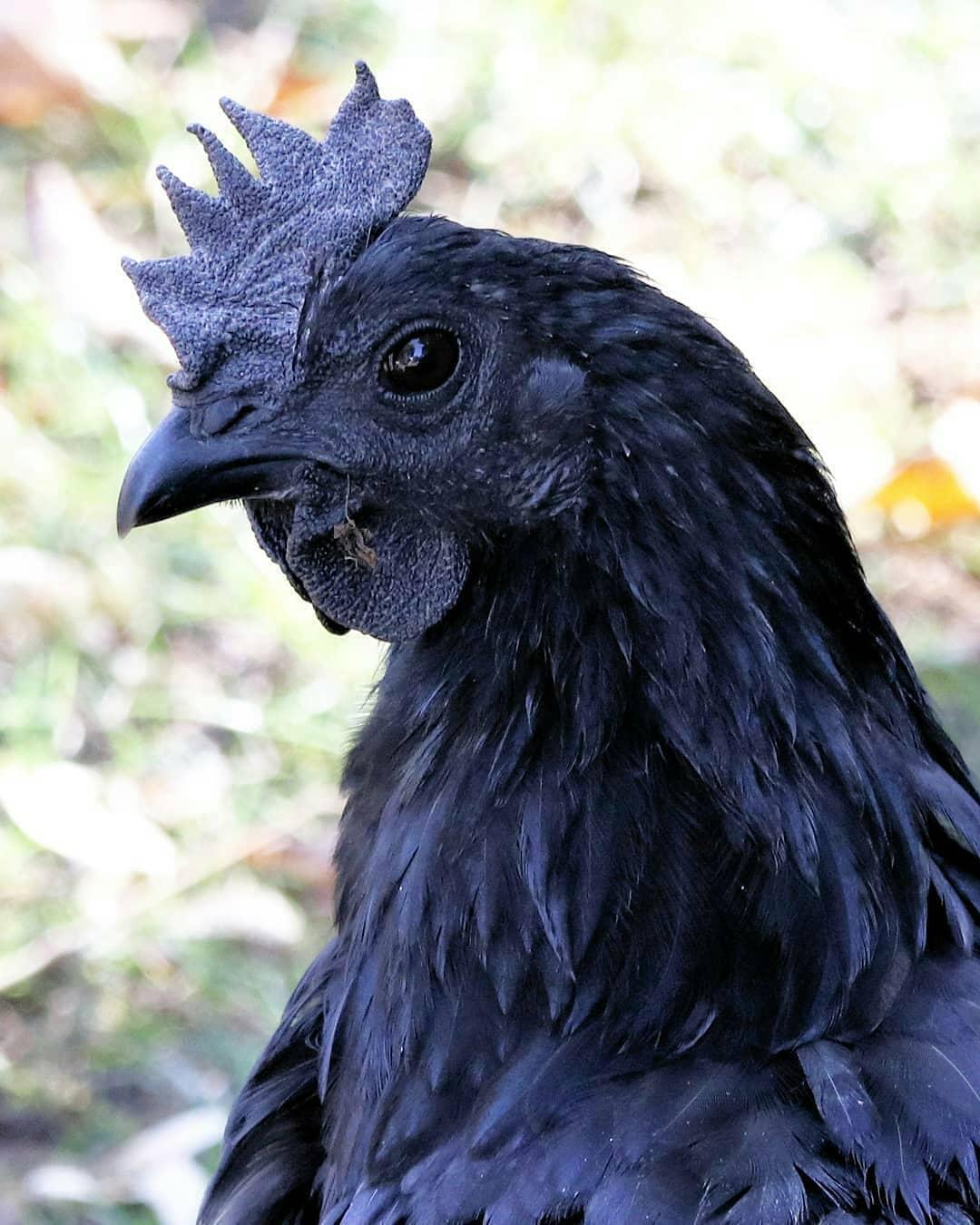 Kumpulan Gambar Ayam