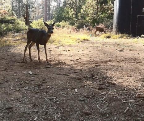ciervos en Mariposa Groove