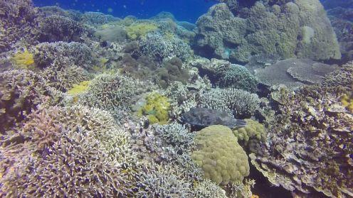 Pez globo Apo Island