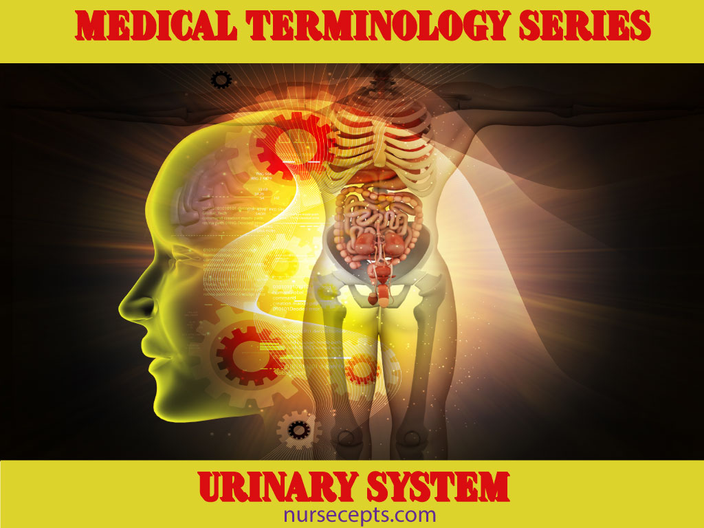 Medical Terminology For The Urinary System