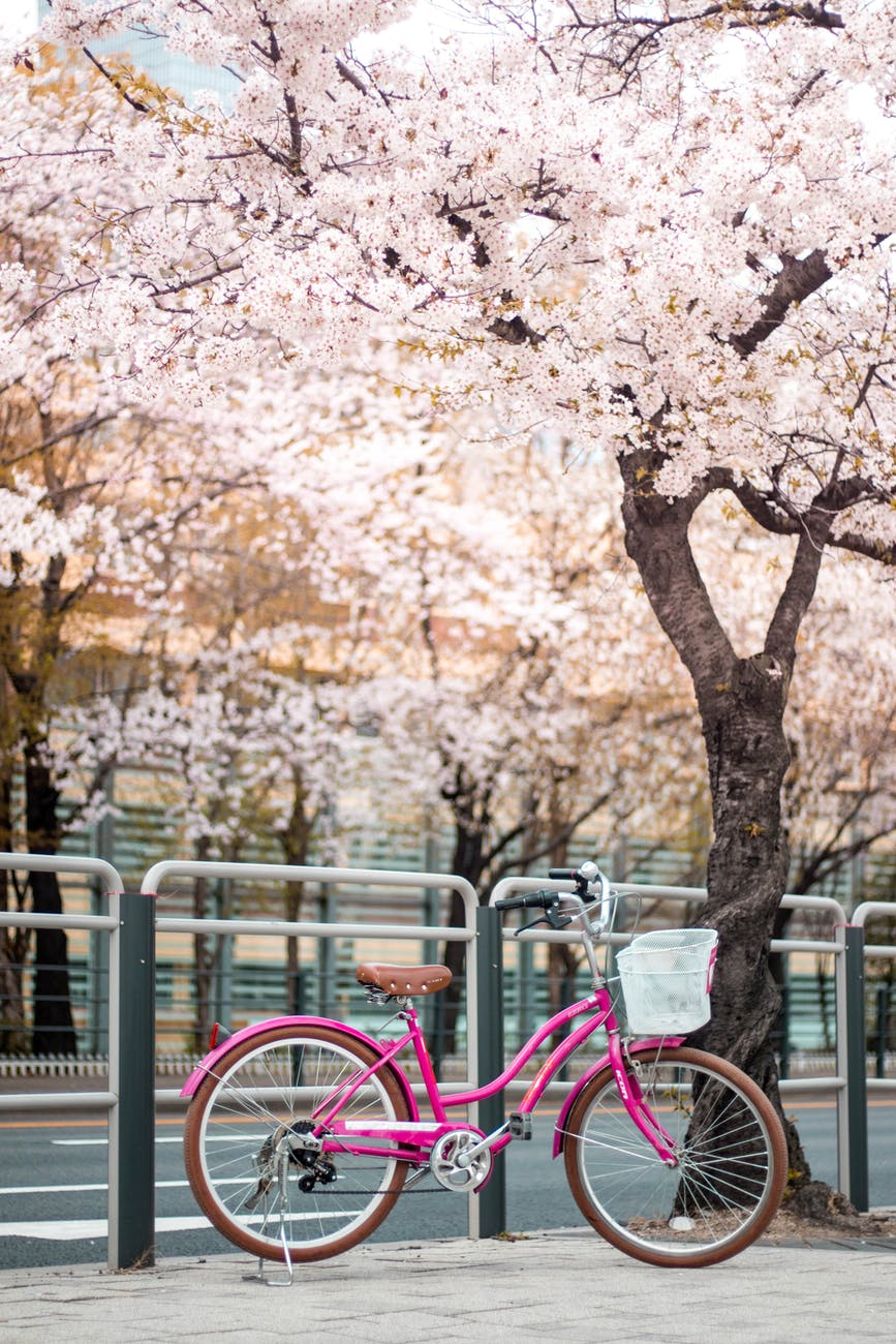 pink bicycle parked beside a cherry blossom tree