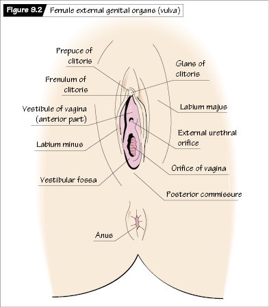Gross anatomy of the female reproductive tract nurse key ccuart Image collections