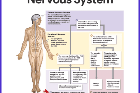 nervous system of human body ppt » Path Decorations Pictures | Full ...