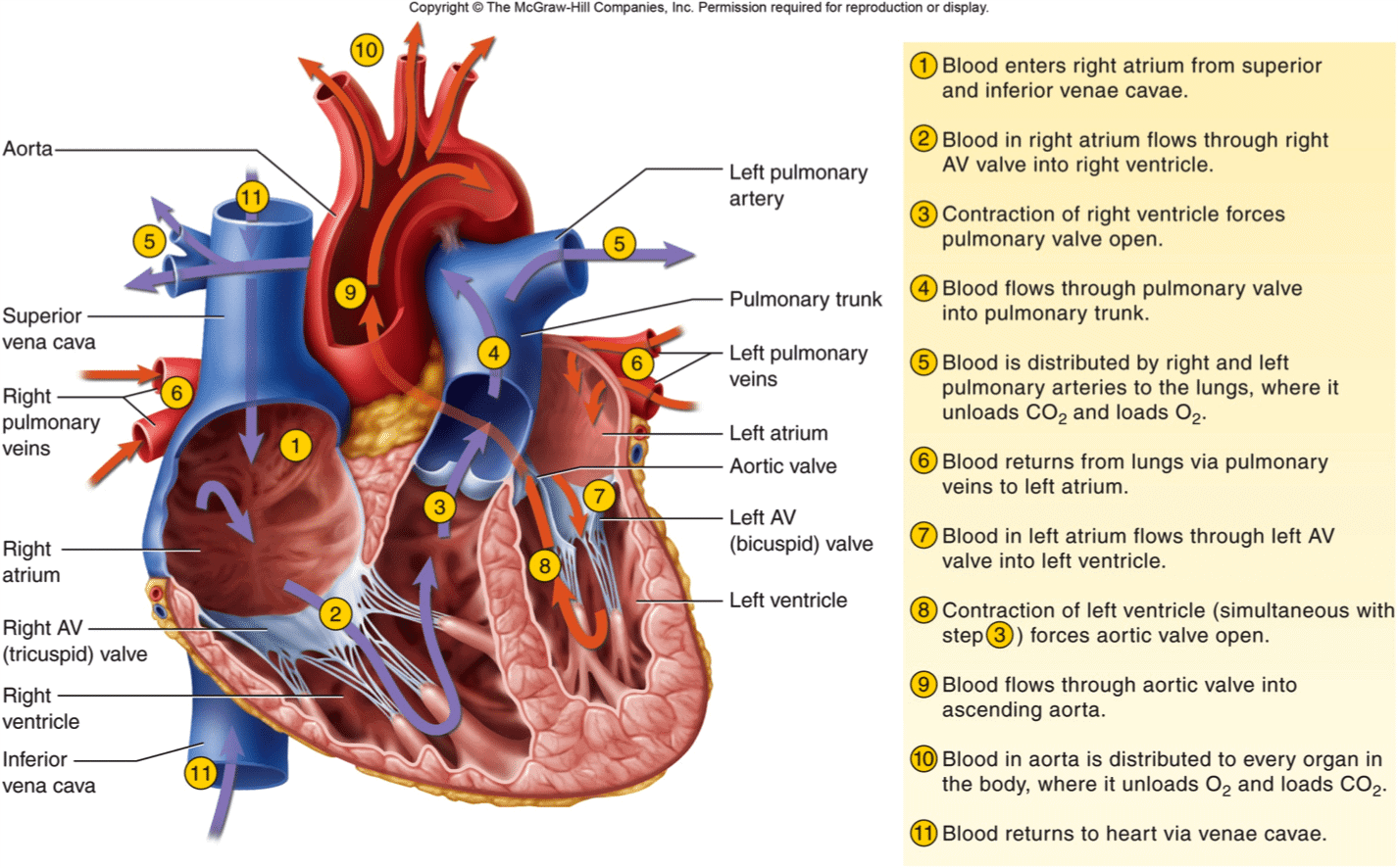 Blood Flow through the Heart - Pathophysiology ...
