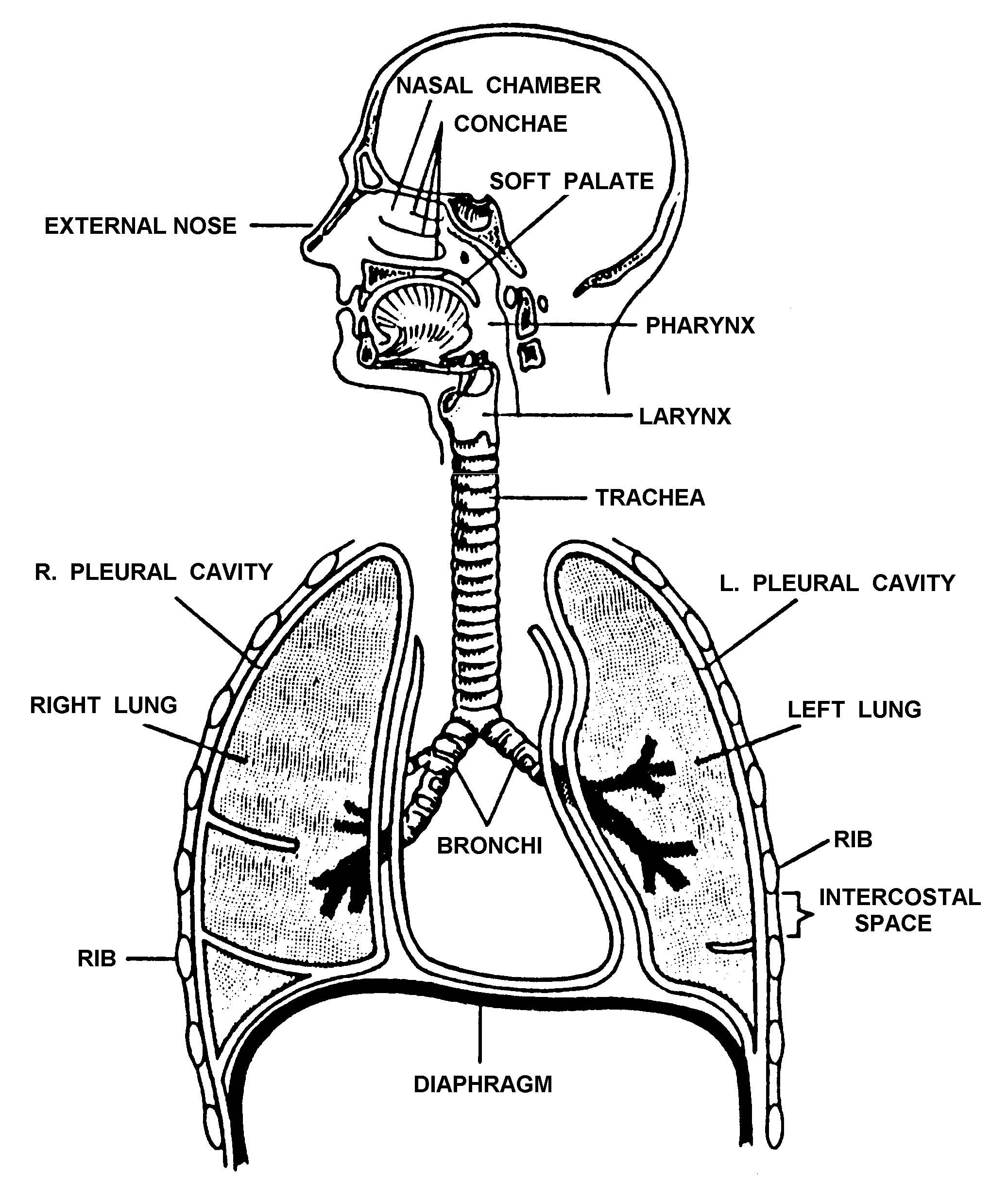 Diagram Of Lung
