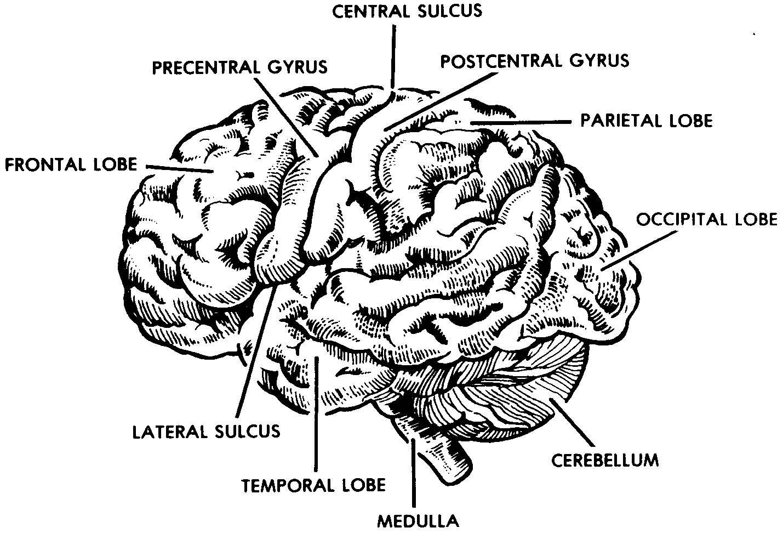 2 3 The Brain