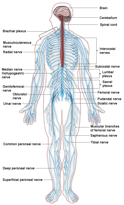 look at all those nerves and connections!