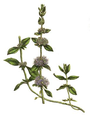 Pennyroyal illustration from William Woodville, Medical Botany (London: James Phillips, 1793), via Wikimedia.