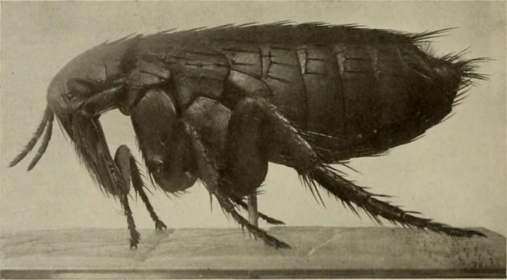 Photograph of a flea.