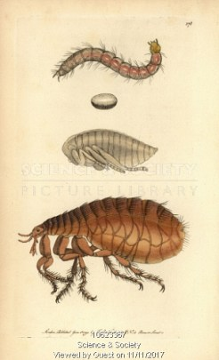 Drawing of a flea.