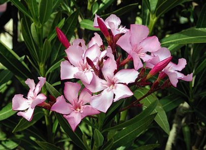 Photo of a grouping of pink five-petaled flowers in bloom. This is the oleander flower.