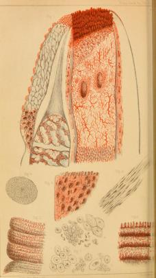 Drawing of the penis glans (head) with interior circulation and blood flow mapped out, and cross sections of muscle, tissue, and other anaotomical sections of the penis included along the bottom of the image