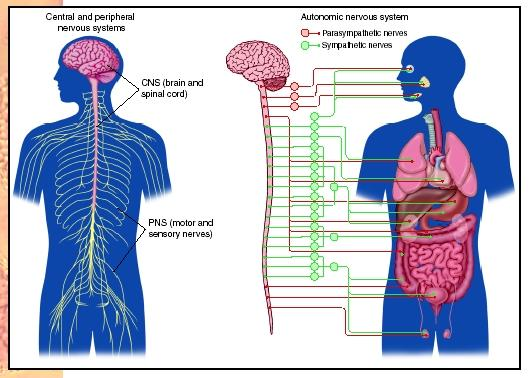 Anatomy and Physiology: Nervous System - Page 8 of 8 ...