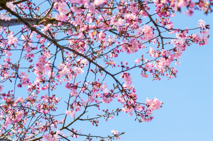 The photo shows a cherry blossom tree. This reflects concepts discussed in anxiety treatment in Towson, MD with Nurtured Well.
